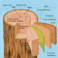 cross section of tree